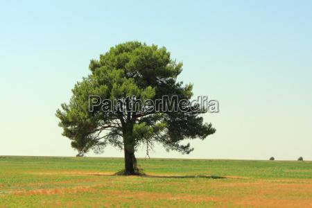 drzewo sosna pole szeroki daleki samotny