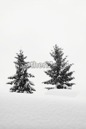 drzewo zima zimowy jodly swierk osniezony