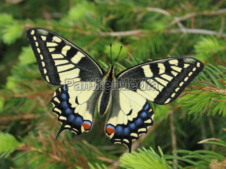 motyl zwierzeta zwierzatka iglak widok z