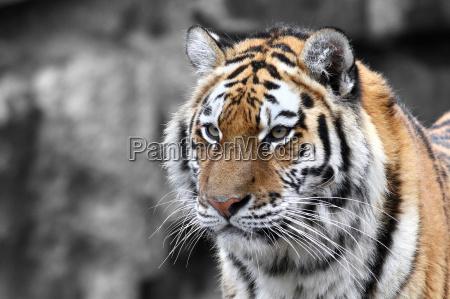 zwierzeta zwierzatka kot kot drapiezny tygrys