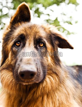 sprytny pies portret
