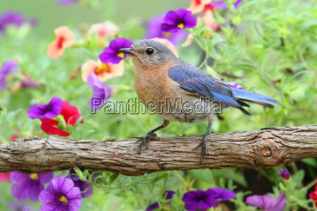 kobieta wschodnia bluebird