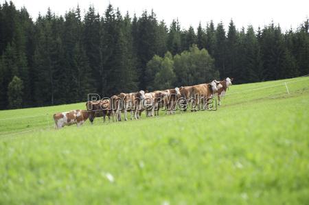 vaca bovino rebanho salgueiro