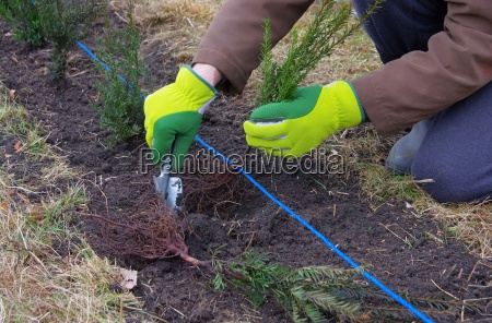 sadzenie sadzic krzew zywoplot taxus eibe