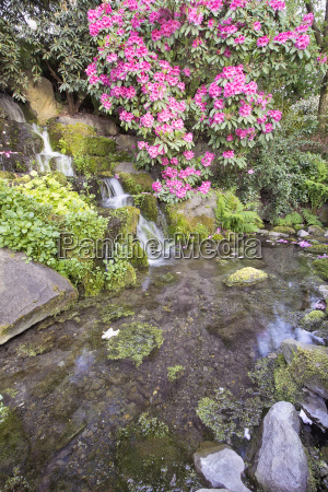 rhododendron pink flowers blooming over waterfall