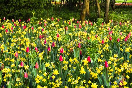 tulipany hiacynty wiosna narcyz sezonowo oster
