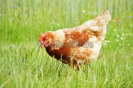 zwierze bydlo farma drob gospodarstw ferma