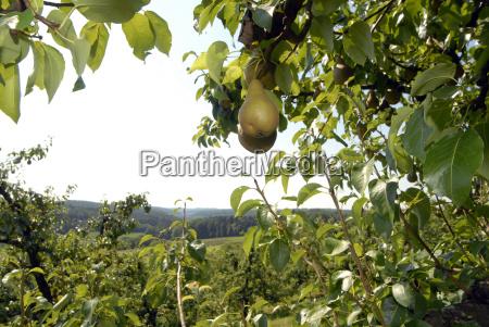 drzewo owoc owoce owocowe gruszka cebulka