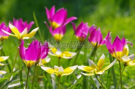 dziki tulipan dziki tulipan 07