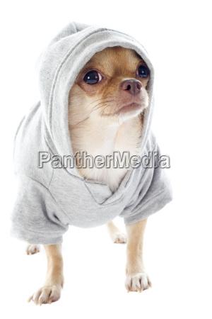 pies szczeniak ubrany sukienki ubrany ubierac