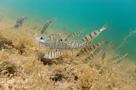 perch in the lake