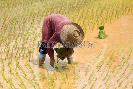 sadzenia ryzu