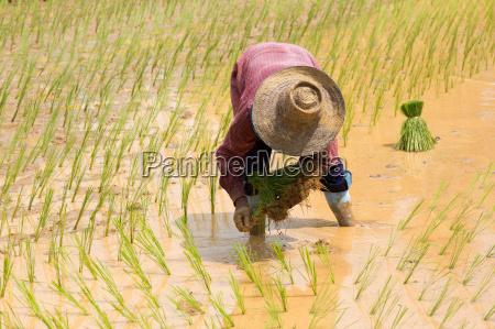 sadzenie sadzic azja gospodarstwo rolnictwo uprawa