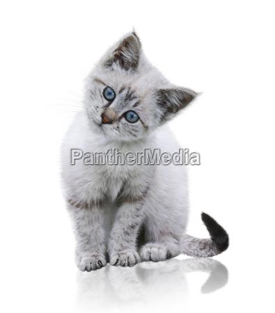 biale i brazowe kitten