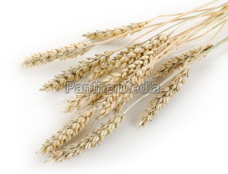 Łodygi, pszenicy - 10124779