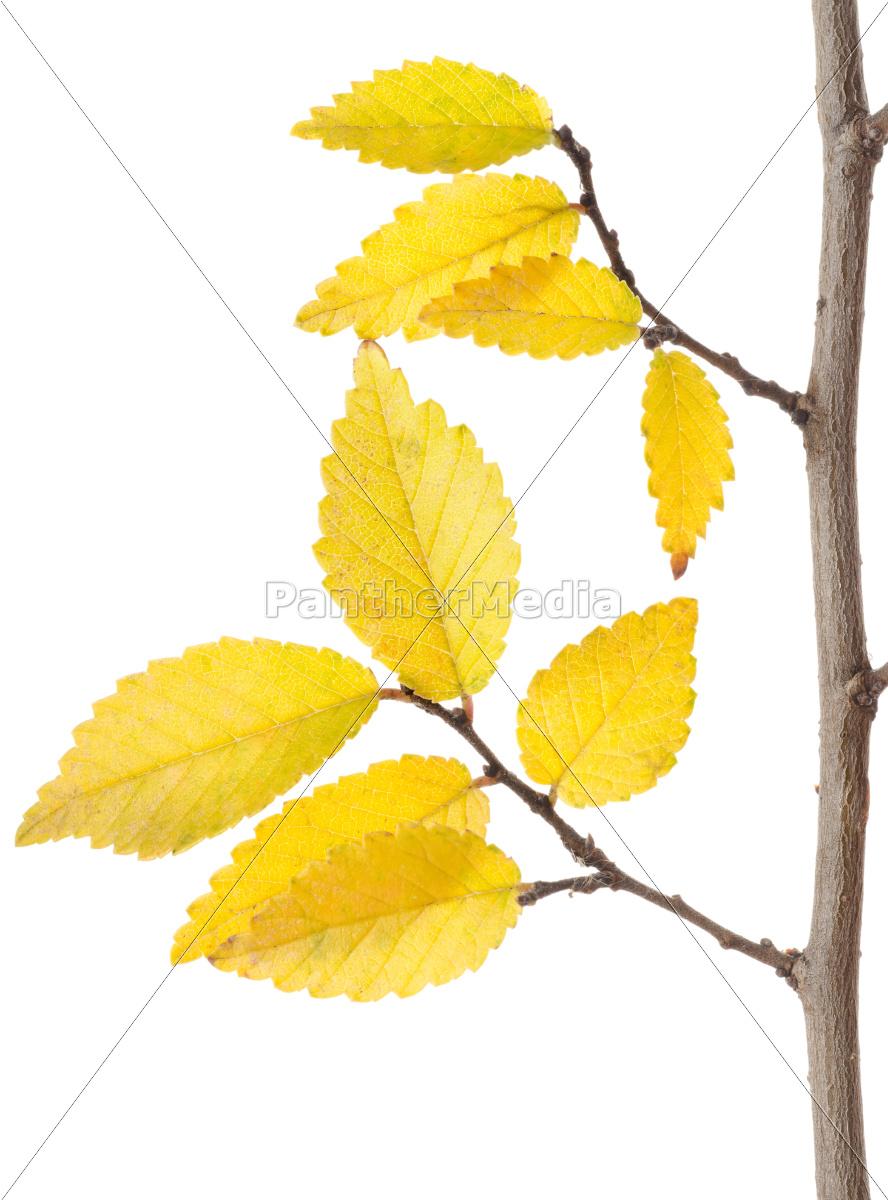 odgałęzienie, żółtej, jesieni - 10124877