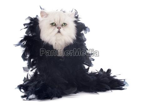 biały, kot, perski, i, boa - 10336451