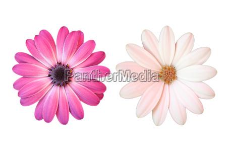 rozowe i biale stokrotki na bialym
