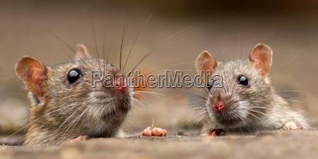 szczury rattus
