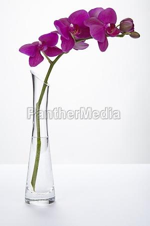 purpurowa orchidea w waze