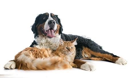 pies bernese i kot