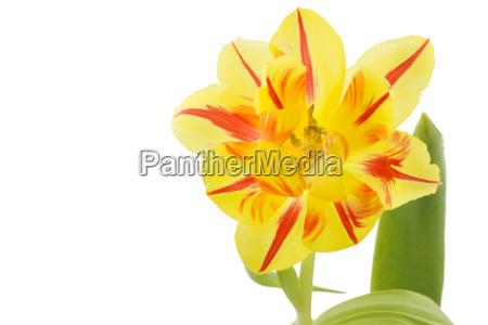Zolty tulipan z czerwonymi paskami