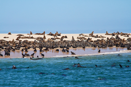 afryka namibia kolonia robben pkt