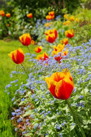 tulip i gissing face tulipan i