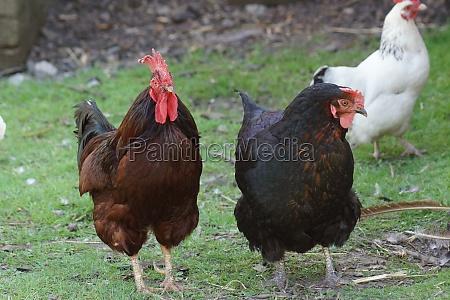 chicken gallus gallus