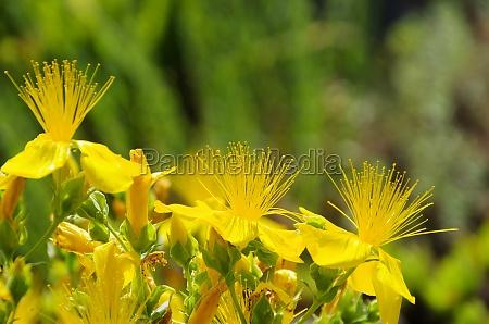 herbata lisc zielony drzewa rozkwitac kwitnienie