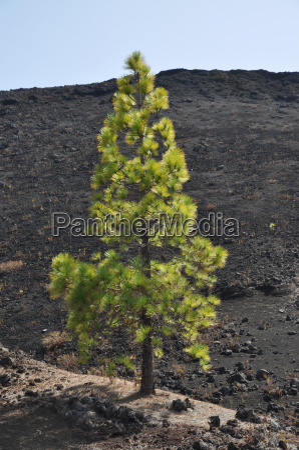 drzewo sosna kanarek teneryfa lawa natura