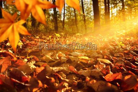 promienie swiatla na podlodze lasu jesienia