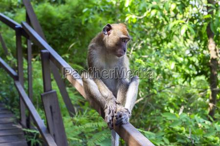mloda makak