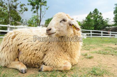 odpoczynek owiec