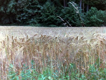 aehrepszenicapole pszenicyzbozezywnosczywnoscackerkulturenrolnictwoprodukcja roslinnaporzadek gruntowagrarnawiejskie ekonomiarolnictworoslinarosliny