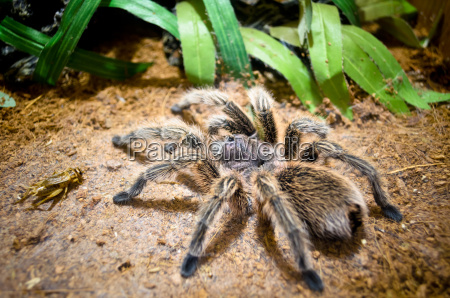 tarantula duzy pajak