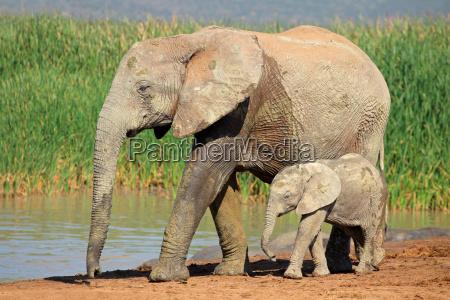 slon afrykanski z ciela