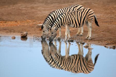 zwierze ssak afryka zebra przyrody wildniss