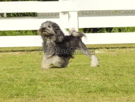 petit chien lew