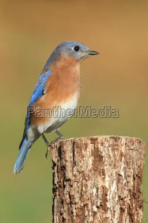 niebieski zwierze ptak fauna dziczyzna dzika