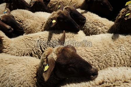 sheeplivestockfarm animalanimal husbandryanimal husbandryanimal husbandryagricultureanimalsanimal