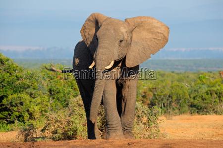 slon afrykanski
