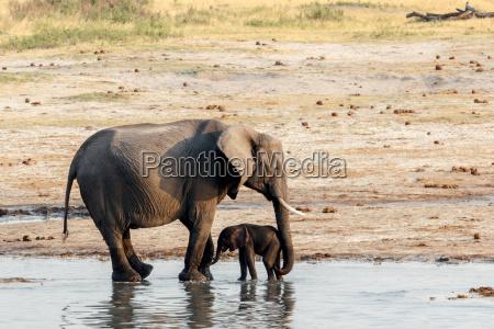 slonie afrykanskie z baby elephant pitnej
