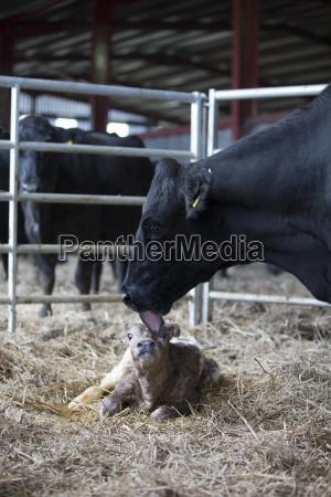 fresian krowa mycie newborn ciele w