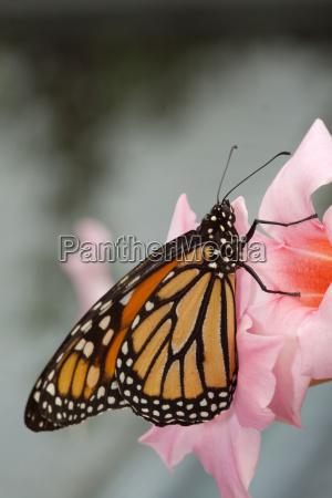 pomaranczowy motyl