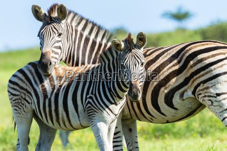 zebra dzika przyroda