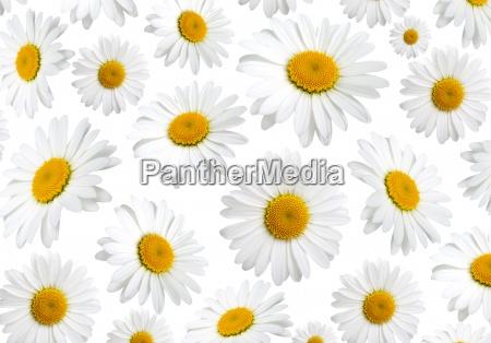 kwiaty rumianku tekstury na bialym tle