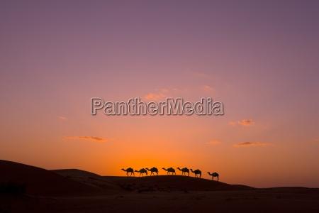 camel caravan o zachodzie slonca na