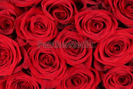 tlo czerwone roze na walentynki lub