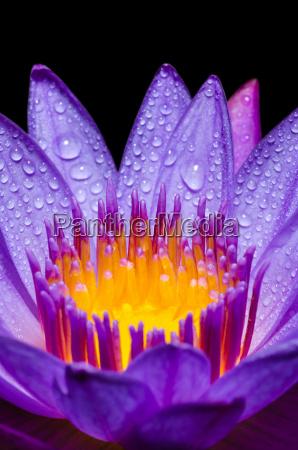 makro zolty slupek fioletowy kwiat lotosu